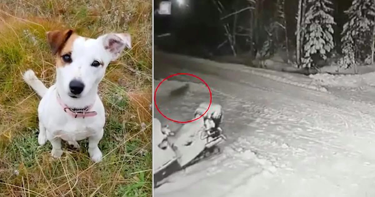 Jack Russell Sacrifices Its Life To Save 10-Year-Old Boy From Wolf Attack In Russia