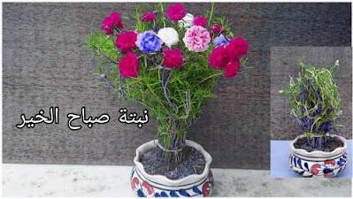 ما هو نبات صباح الخير أو زهرة الصباح أو رجلة الزهور