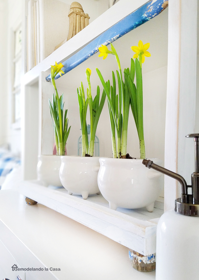 white blue and green for Spring - wooden tray holding daffodil plants