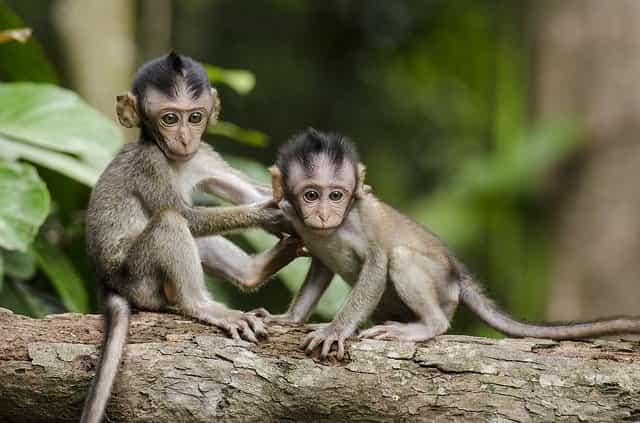 Monyet Macam Hewan Penular Penyakit Berbahaya Lewat Interaksi