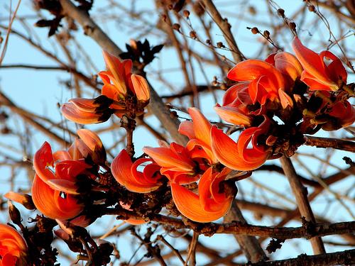 VishwaCARE: AYURVEDA FOR SAGGING BREASTSPalash Flower