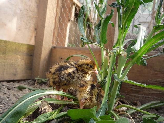 Organic quail