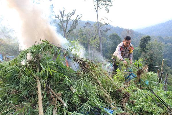 Ladang ganja di Madina yamg dimusnahkan.