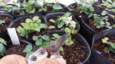 Cây thằn lằn cẩm thạch sau 1 tháng trồng cần được cắt tỉa bấm ngọn