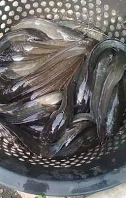 Cara pemijahan ikan lele dengan baik