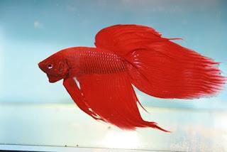 Ikan Cupang Splendess
