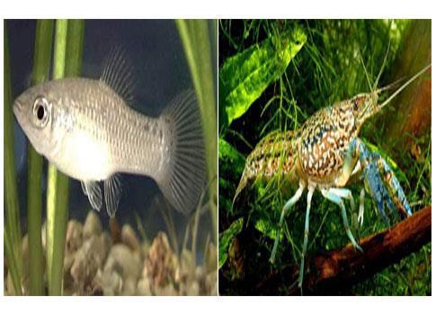Μια καραβίδα και ένα ψάρι που αναπαράγονται ασεξουαλικά