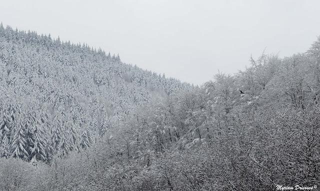 une buse chasse dans la Montagne Noire sous la neige