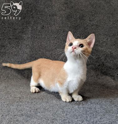 Adopsi Kucing Munchkin