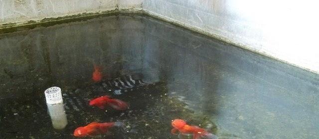 Gambar Kolam Ikan Mas di Lahan Sempit dari Batu Alam Lengkap Filter