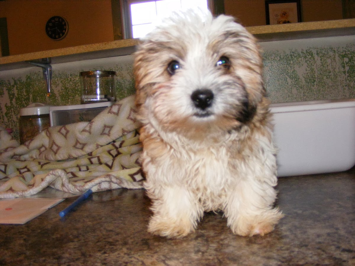 biewer terrier puppies for sale beautiful biewer terrier puppies for sale 4019