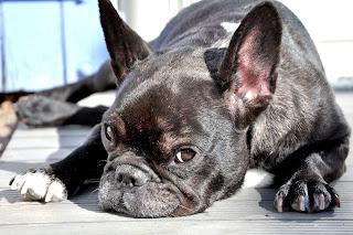 crise epilepsie chez le chien