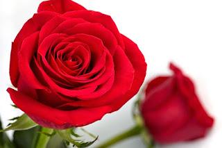 Bunga Mawar Bunga Mawar