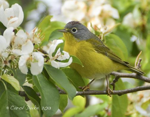 A Bestiary: Songbirds ~ Nashville Warbler