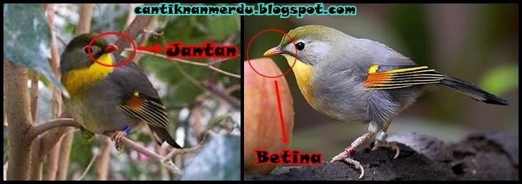 Mengenal Burung Robin Jantan Dan Betina