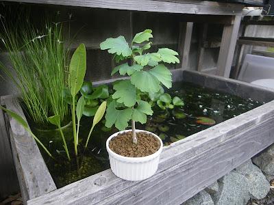 イチョウ ミニ盆栽