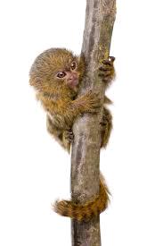 world's smallest monkey
