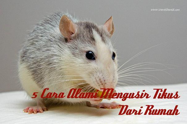 5 cara alami mengusir tikus dari rumah