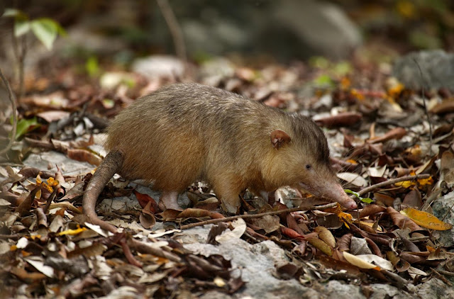 Elusive venomous mammal joins the genome club