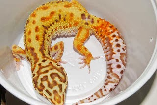 jual aksesoris gecko, jual anakan gecko, harga gecko anakan, jual anak gecko, harga gecko albino, jual gecko in action surabaya, harga anak gecko, jual gecko blizzard, jual gecko bogor, jual gecko bekasi, jual gecko baby, jual gecko banjarmasin, jual gecko bold stripe, jual gecko besar, jual gecko bell, jual gecko borongan, jual gecko cirebon, jual crested gecko,