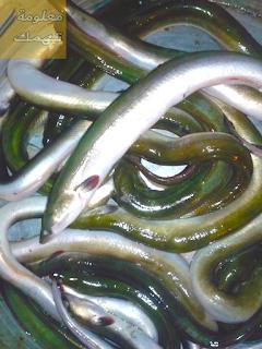 سمك ثعبان النيل