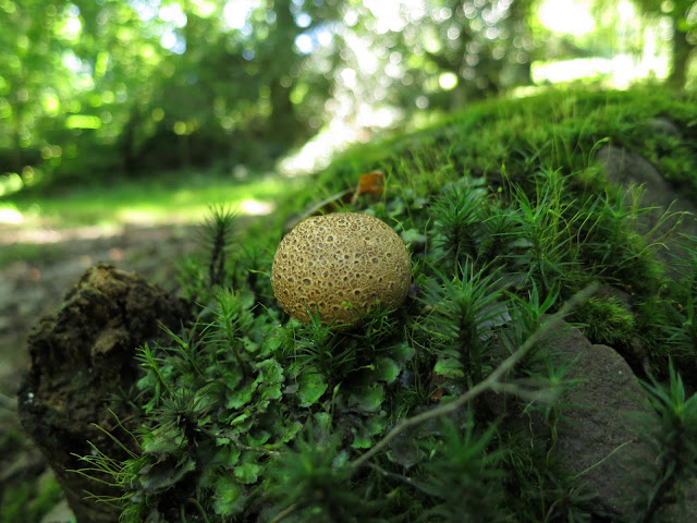 Small round fungus amongst moses on a rock near a path in a wood in Somerset.
