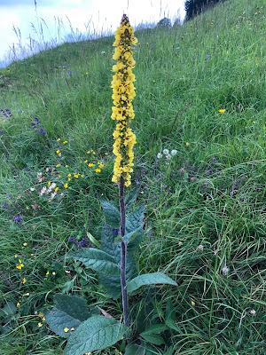 [Scrophulariaceae] Verbascum – Mullein (Verbasco)