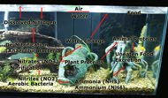 Aquarium Nitrogen Cycle, nitrifying bacteria, cycling