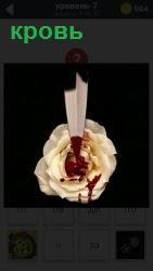 Белая роза, на которую капают кровью с полоски свернутой в трубочку бумаги