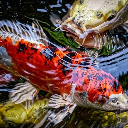 Ikan Koi : Ciri-ciri Jenis dan Harganya
