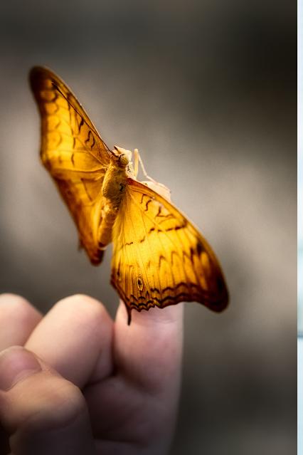 Monarch butterfly on a finger
