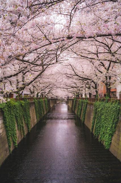 目黒川,桜,構図