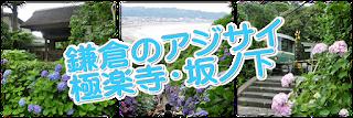 極楽寺・坂ノ下のあじさい