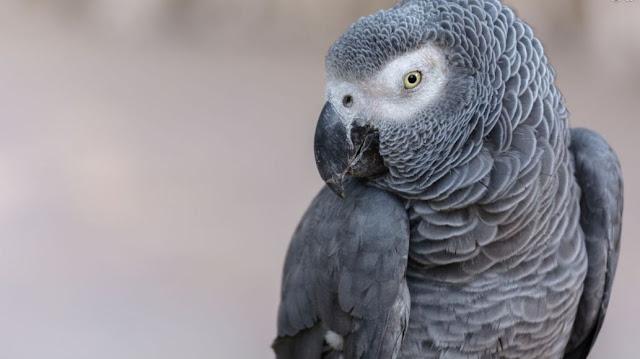 Burung Beo Afrika
