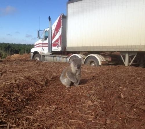 Shocking Pictures Of A Confused Koala After Finding Out Its Home Has Been Cut Down