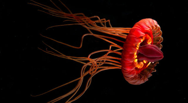 Ubur-Ubur Atolla (Coronate medusa)