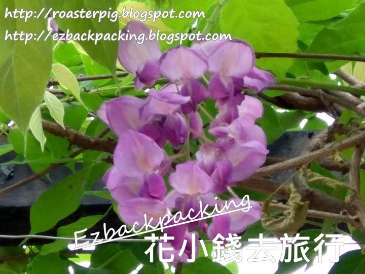沙田紫藤開花