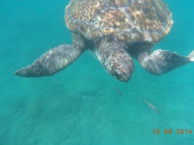 Suppenschildkröte - Chelonia mydas © Canarian Sea 01