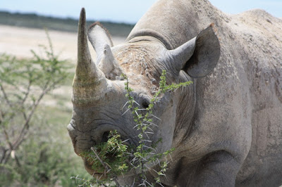 Black Rhino in the Andoni Plains