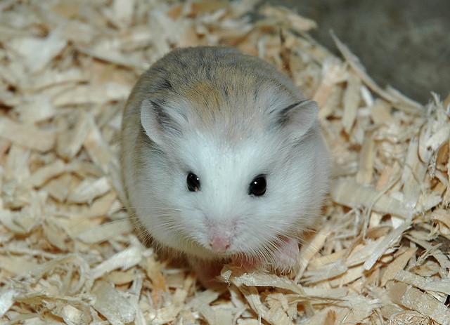 Hamster Robo – Thiên thần chuột cảnh đáng yêu