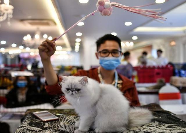 Lo studio conferma che i gatti possono essere infettati dal coronavirus e trasmetterlo
