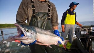 sockeye salmon fishery, salmon, sockeye salmon