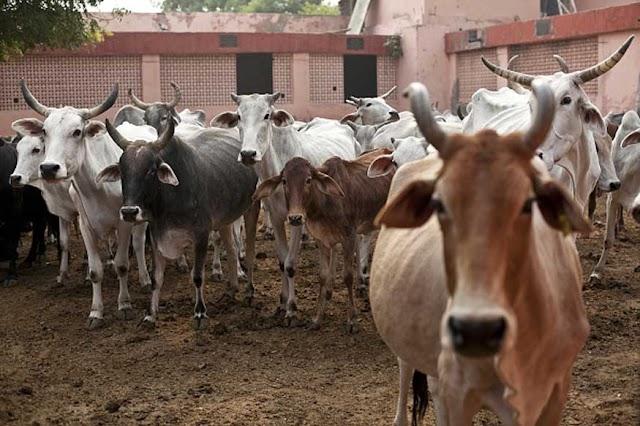 मध्य प्रदेश में 17 गाय की मौत .... गायों को कमरे में बंद किया....कई दिन खाने-पीने को नहीं दिया,