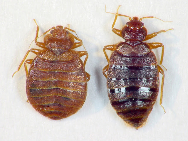 common-tropical-females-bed-bugs