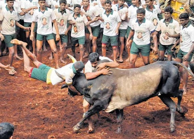Jallikattu or bull taming scene from Madurai, Tamil Nadu in 2014.