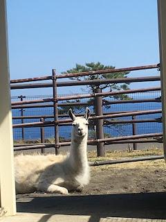 大島動物園(ラマ)