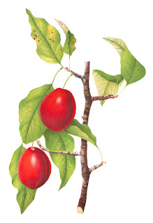 fruit plum botanical art digital download stock image