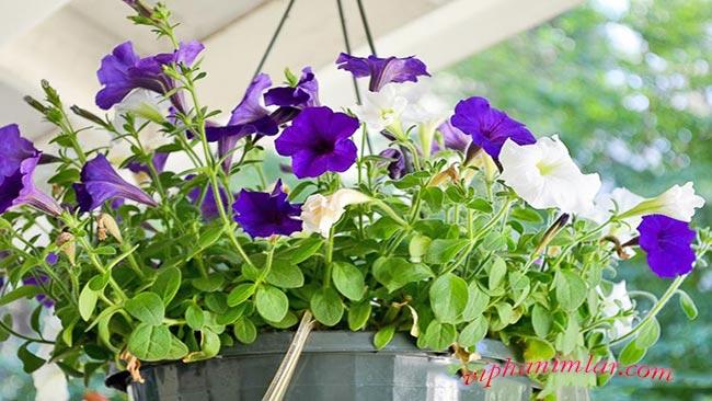Petunya Bakımı - www.viphanimlar.com