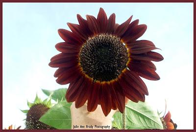 Pretty Chianti Hybrid Sunflower Blossom