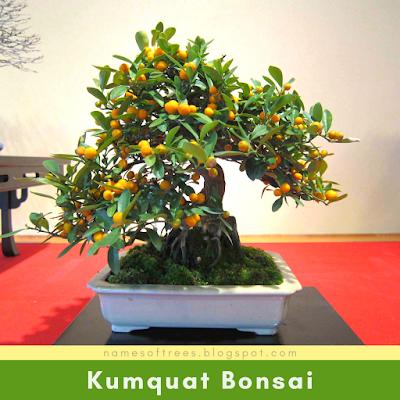 Kumquat Bonsai